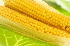 tec2seed-corn