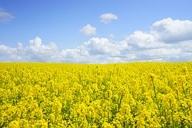 field-of-rapeseeds-474558__180