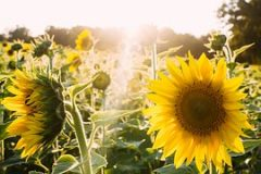 sunflowers-945407__180