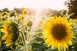 sunflowers-945407__180